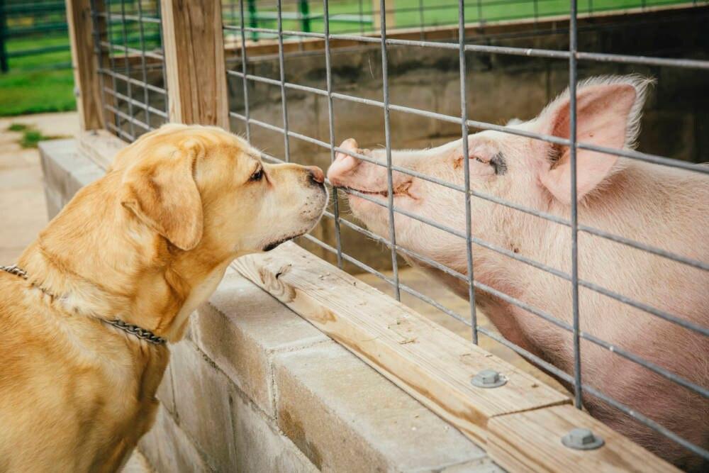 Schwein und Hund