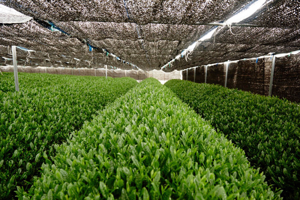 Überschattete Teeplantage