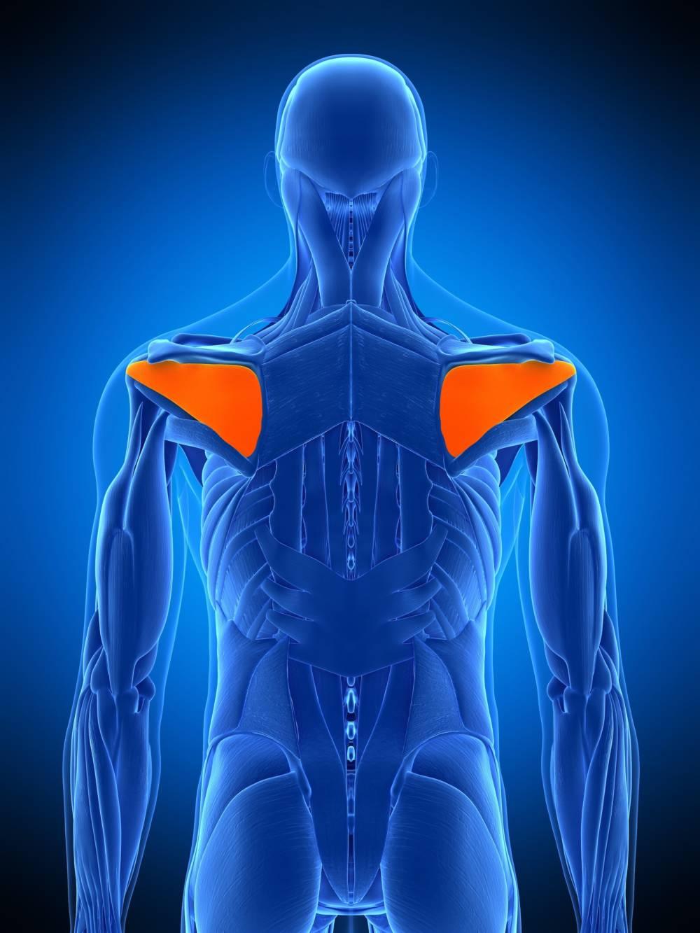 Menschliche Schulter