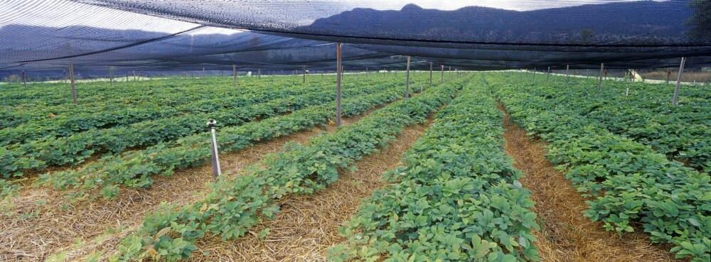 Ginseng-Plantage
