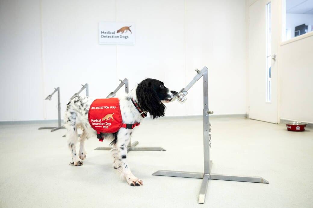 Trainierte Hunde können wohl (bald) Corono-Infizierte erschnüffeln