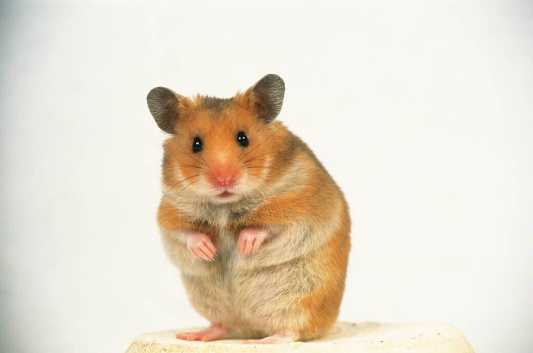 Hongkonger Forscher haben nachgewiesen, dass Masken Hamster vor Corona schützen können
