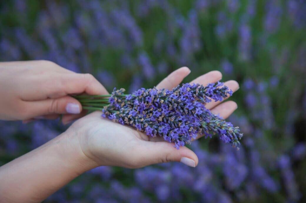 Frau hält Lavendelstrauß in der Hand