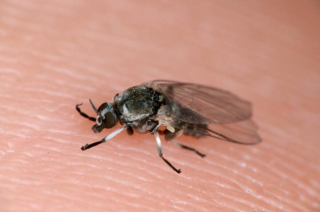 Eine Kriebelmücke sitzt auf einem Finger